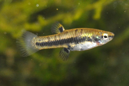 Least Killifish (Heterandria formosa)