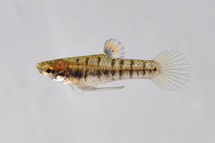 Least Killifish - Heterandria formosa