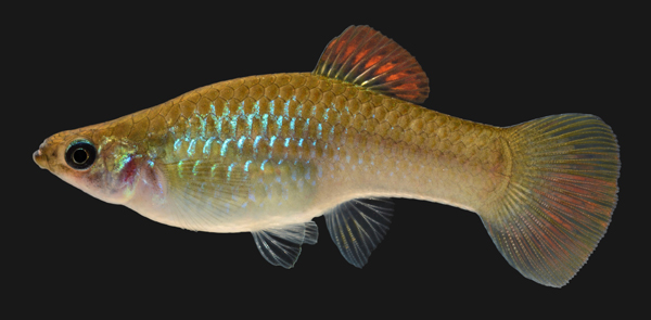 Zimmerman S Fish North American Native Fish Price